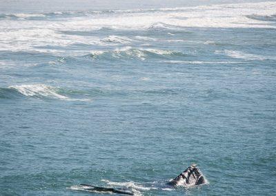 Whale, Ribanceira, SC