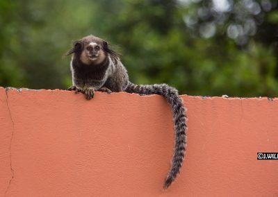 Floripa's monkey
